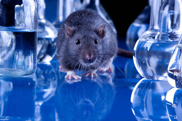 Animal Testing Medical tests on rats in laboratory animal testing stock pictures, royalty-free photos & images
