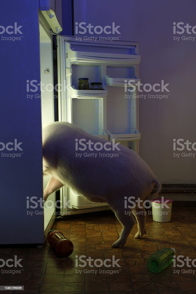 Animal thief - pig in refrigerator royalty-free stock photo