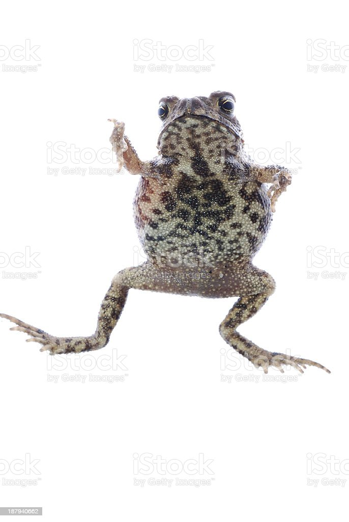 animal toad frog royalty-free stock photo