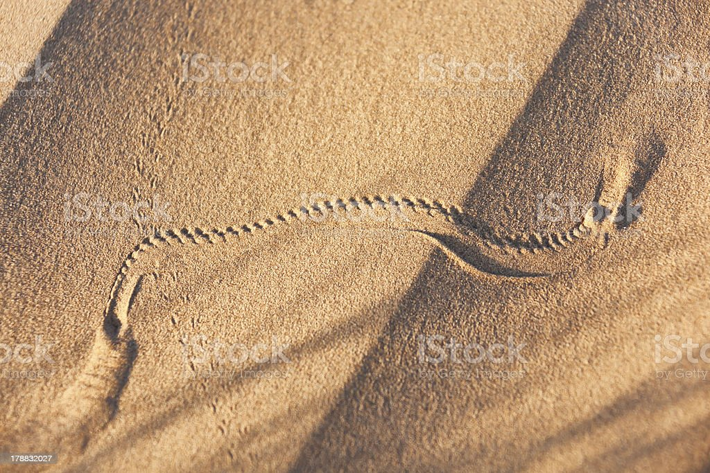 Animal track in desert sand. stock photo