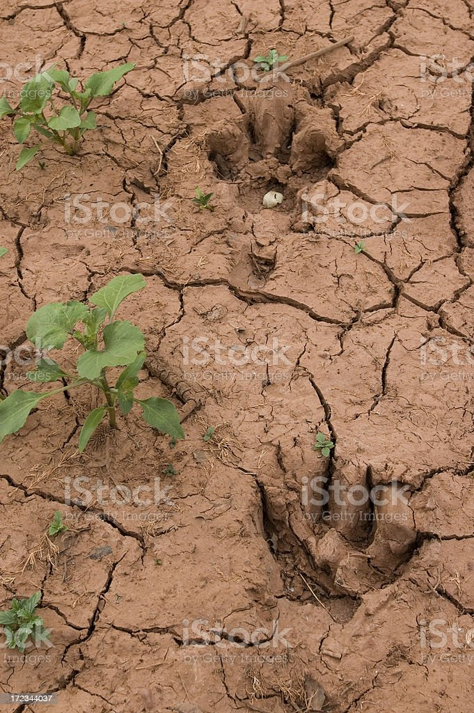 Animal tracks in red dried clay stock photo