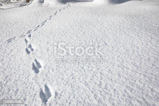 Animal Tracks in Snow in Nature.