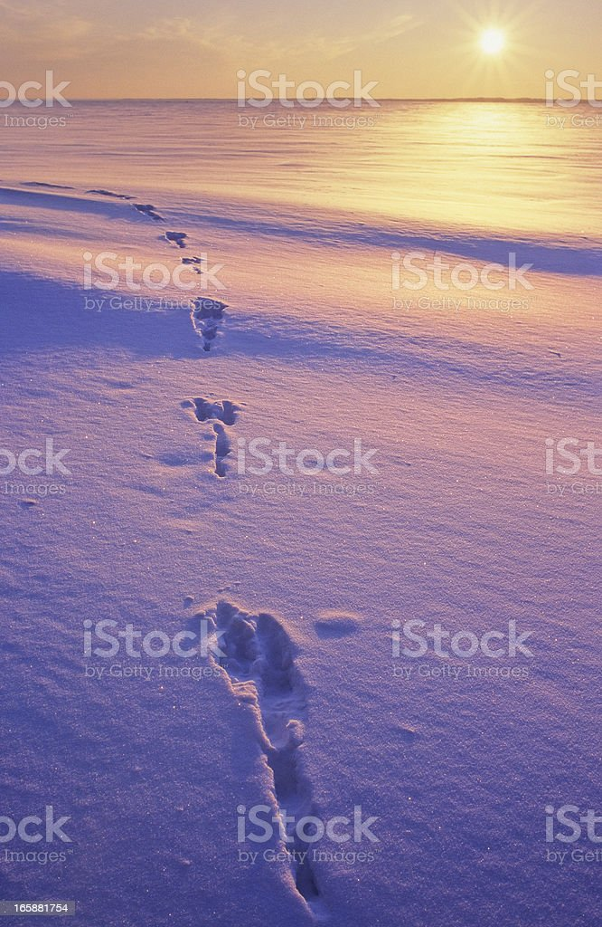 Animal tracks in snow stock photo