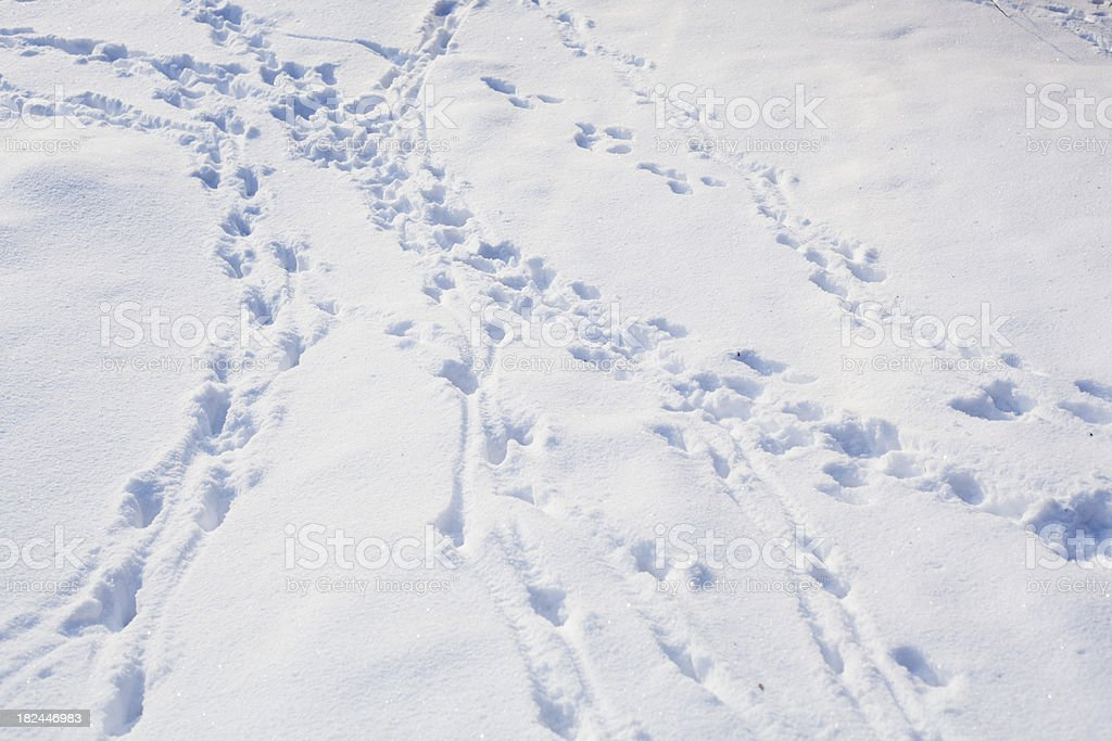 Animal tracks in snow royalty-free stock photo