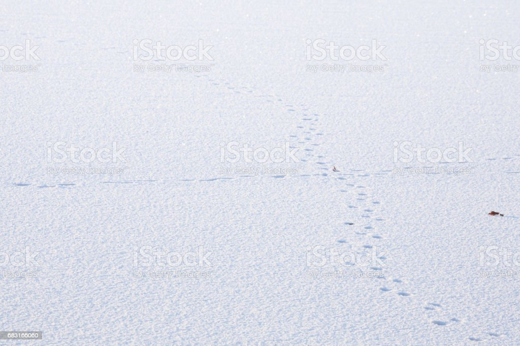 animal tracks in the snow 免版稅 stock photo