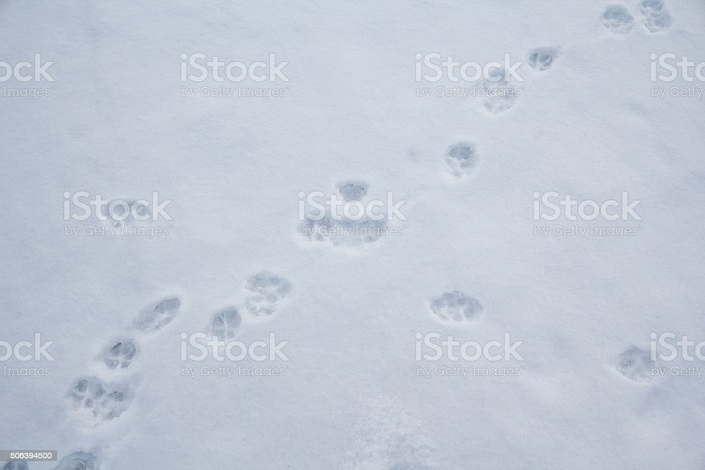 Animal tracks in the white snow. Wildlife stock photo