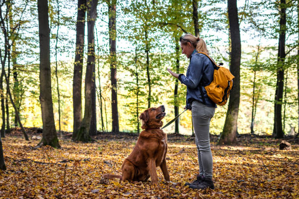 Animal trainer is doing obedience training with her dog outdoors stock photo