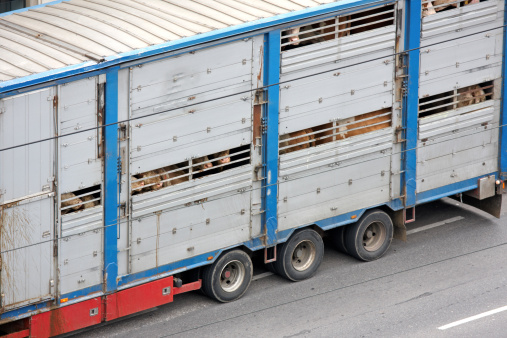 animal transportation in a to small truck