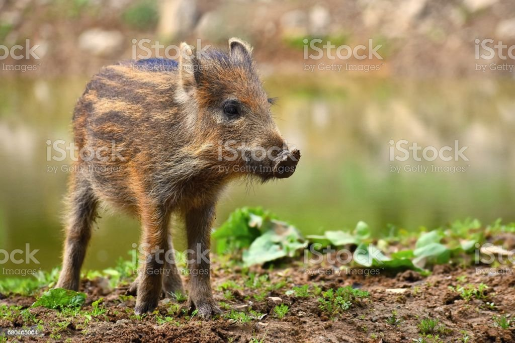 Animal - wild boar in the wild. Young bears playing in nature. (Sus scrofa) – Foto
