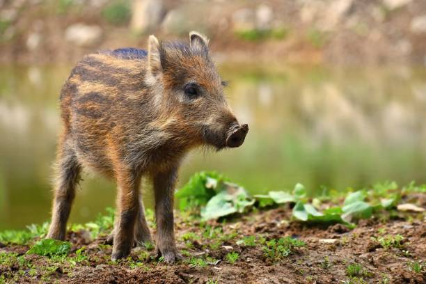 Animal - wild boar in the wild. Young bears playing in nature. (Sus scrofa) Animal - wild boar in the wild. Young bears playing in nature. (Sus scrofa) wild boar stock pictures, royalty-free photos & images