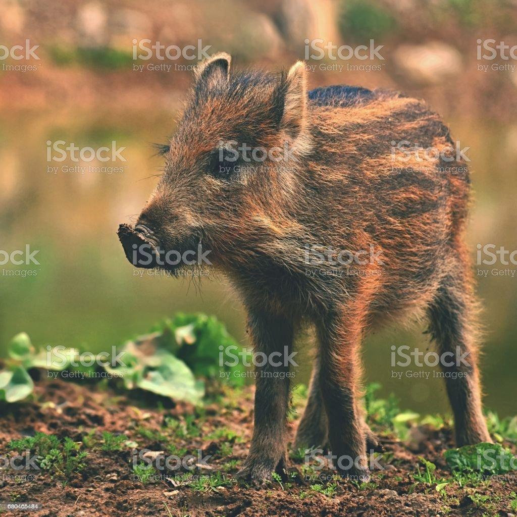 Tier Wildschwein In Freier Wildbahn Junge Bären Spielen In Der Natur ...