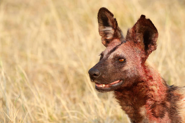 animal wild dog painted wolf wildlife nature savanna grassland predator africa wilderness teeth looking - cão selvagem imagens e fotografias de stock