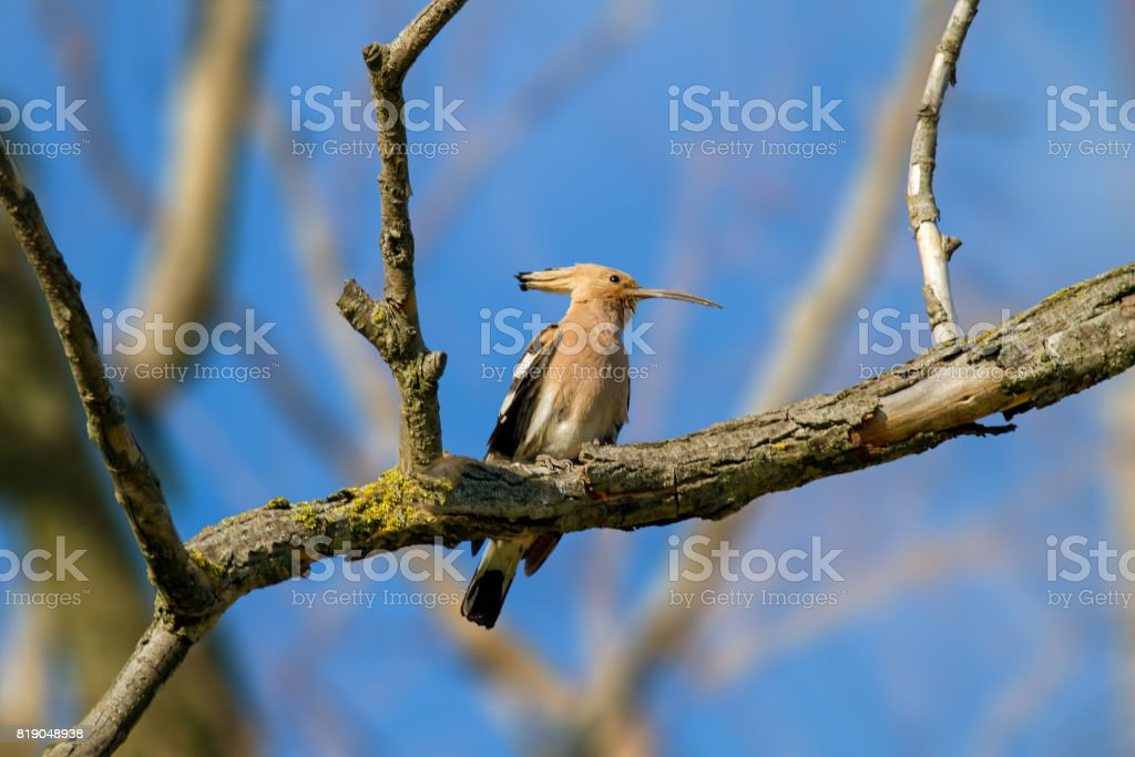 animal wild hoopoe on a branch stock photo