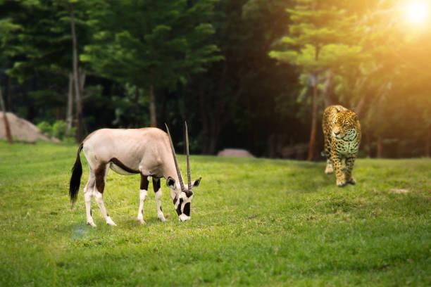 vilda djurliv jakt livsmedelskedjan koncept: leopard tittar gemsbock (gemsbuck) på grön skog - gemsbok green bildbanksfoton och bilder