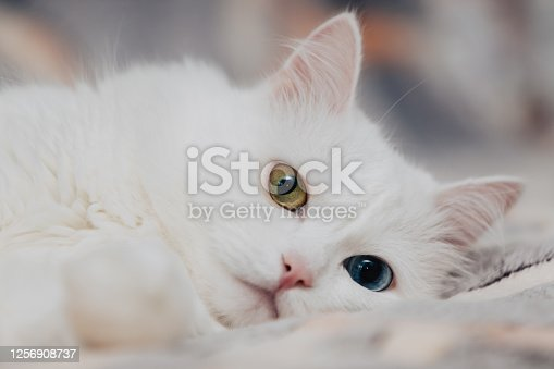 animal with eyes of different colors. Odd-eyed cat with blue and almond eyes. Heterochromia. Turkish Angora cat lies on a spotty background.
