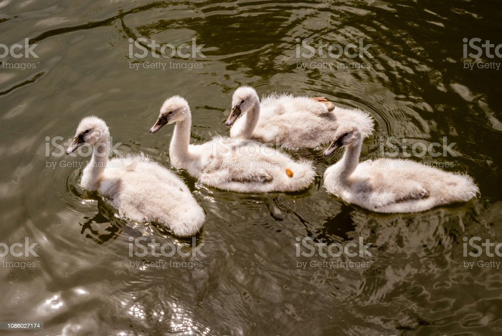 animal young swans