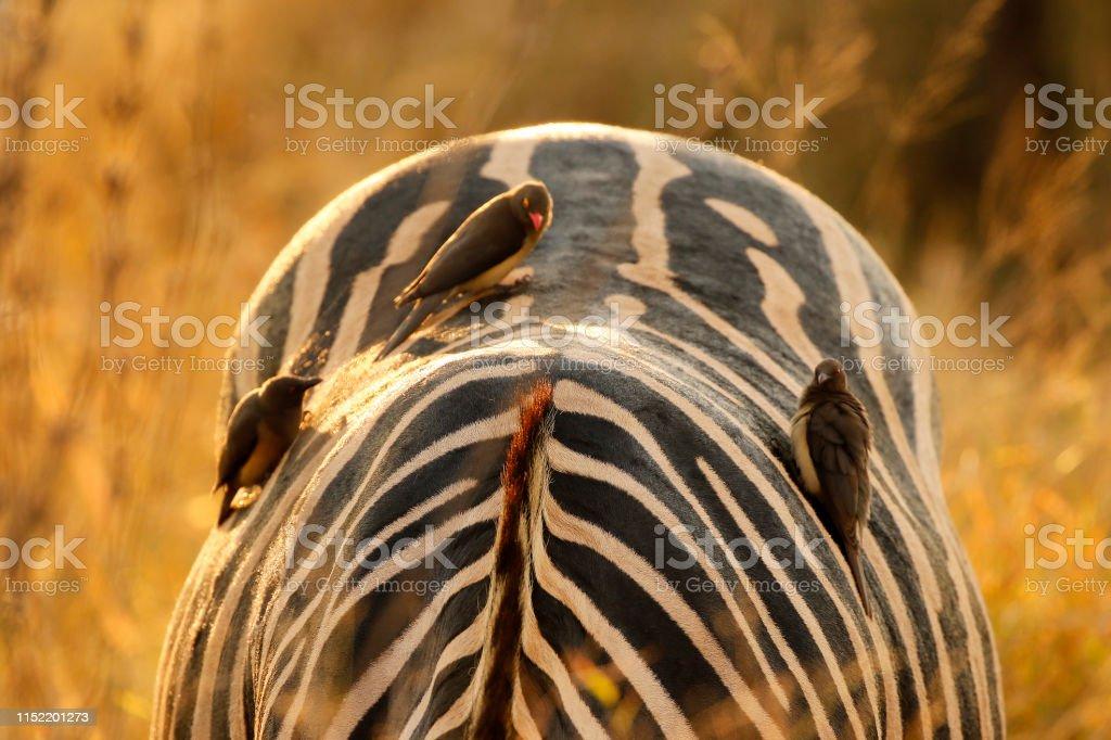 parásito en la sabana africana