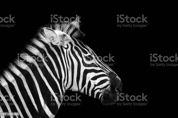Animal zebre portrait picture id891429466?b=1&k=6&m=891429466&s=612x612&h=s87lthc85d338 b7yli3szpalgnoyhtexikwyiqu mc=