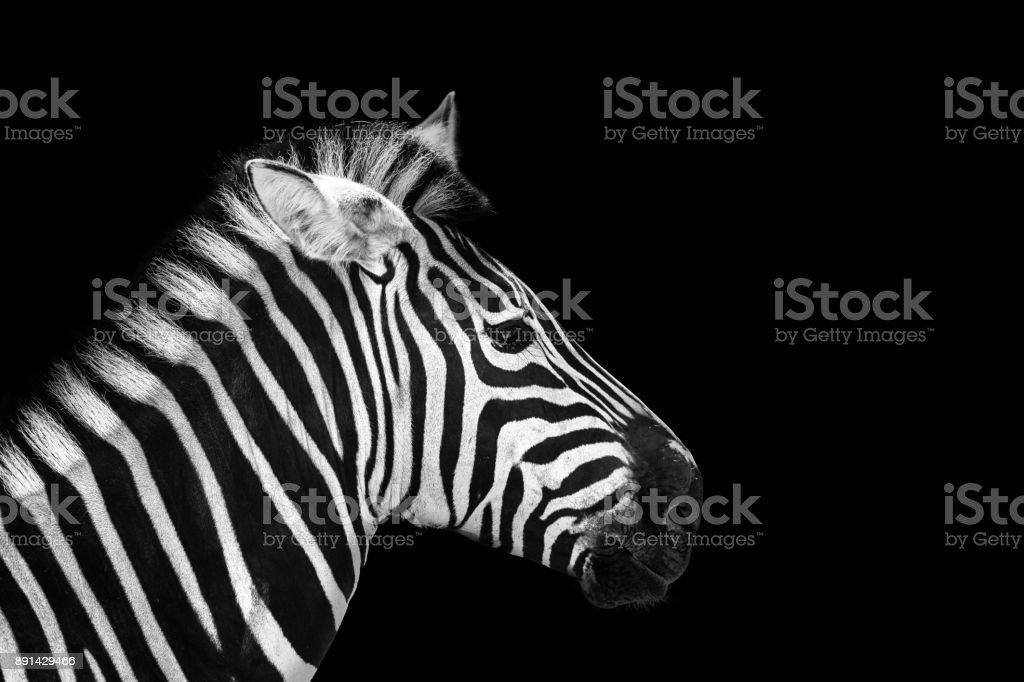 animal zebre portrait stock photo