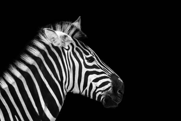 animal zebre portrait - zebra stock photos and pictures