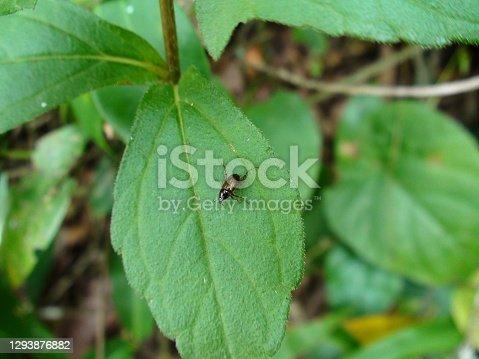 animalia biologia  insecta coleóptera  inseto besouro