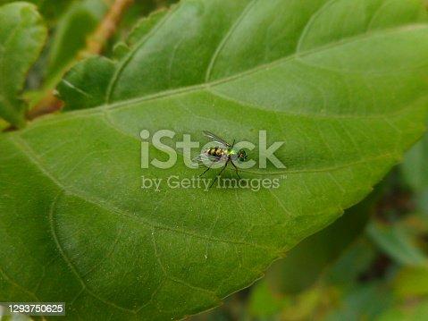 animalia biologia insecta familia Tipulidae  inseto mosca das pernas longas - condylostylus sp.