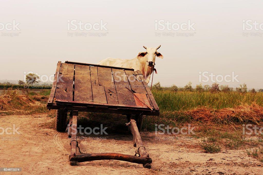 animal-powered vehicle with bull stock photo