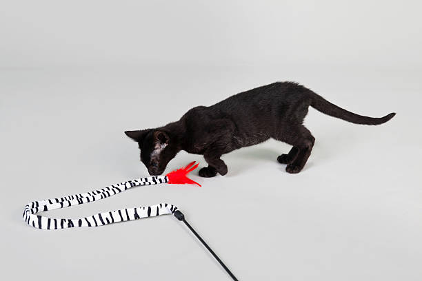 Animals active kittens playing picture id184392549?b=1&k=6&m=184392549&s=612x612&w=0&h=swcese82hcqyfg0ooy 5 u1l85v75qbb ejfeyp9c1u=