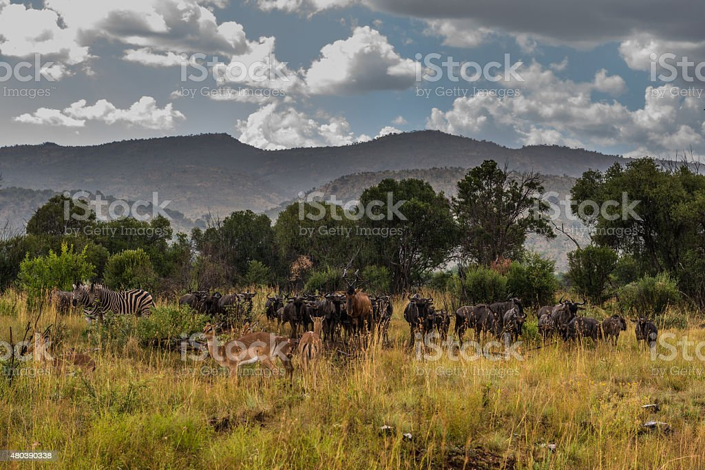 Animals and rain, National park. South Africa. March 29, 2015 stock photo