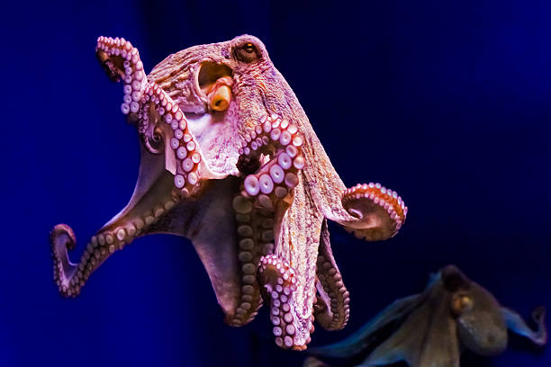 Animali - animals - animales OCTOPUS VULGARIS mollusk stock pictures, royalty-free photos & images