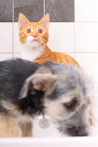 Animals at home dog and cat playing together in bathroom picture id475017735?b=1&k=6&m=475017735&s=612x612&w=0&h=3j5q9zlvzvxvwodakubr7ggvzaakh64vgdrnf7krfu4=