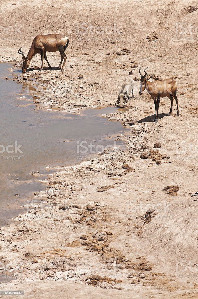 Animals at Waterhole royalty-free stock photo