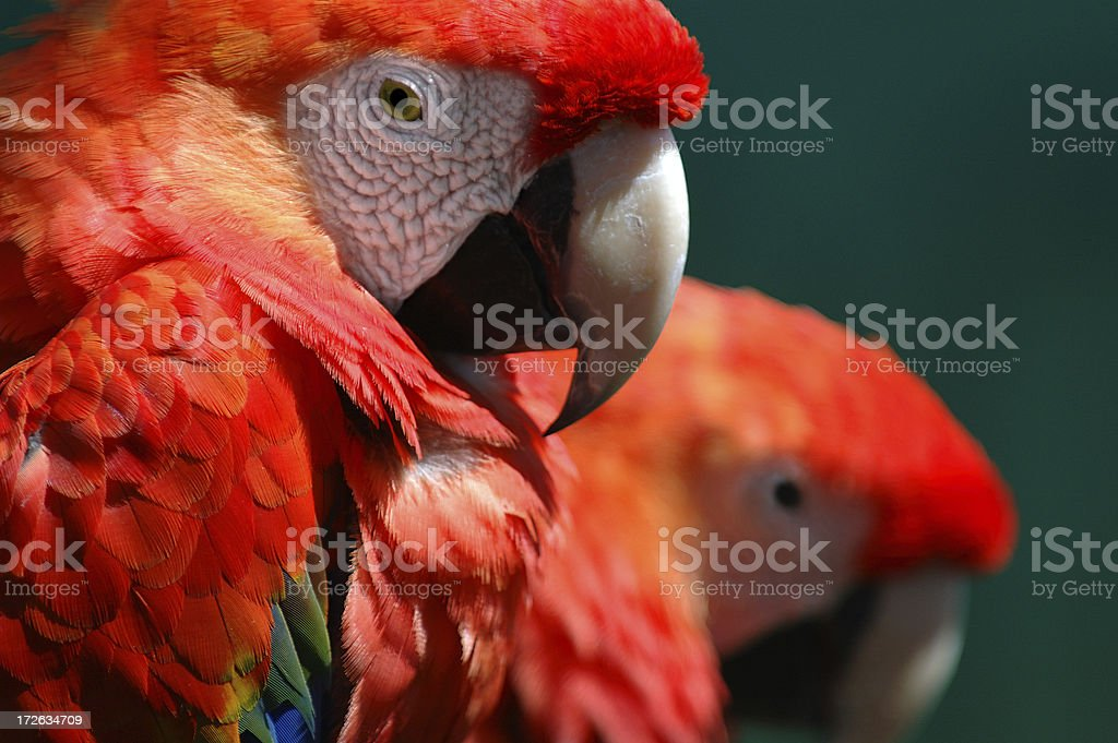 Couple of macaw parrots.