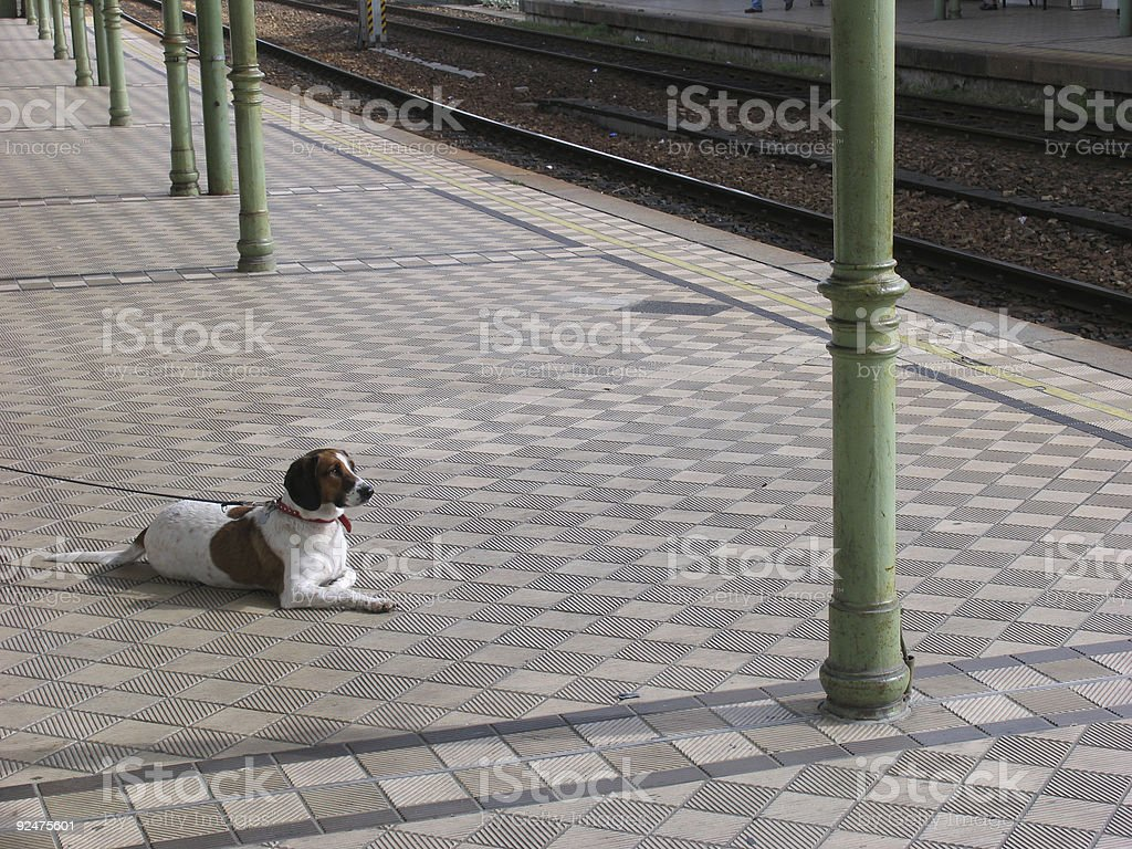 animals: dog waiting for the train royalty-free stock photo