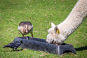 Alpaca, duck and a crow feeding together from the same black bowl on a farm, England