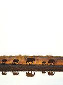 Animals elephants nature Africa walking water wildlife landscape reflection Etosha National Park Namibia color