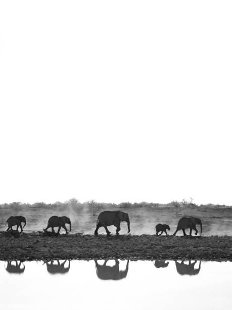 tiere elefanten natur afrika zu fuß wasser tierwelt landschaft reflektieren etosha nationalpark namibia - elefanten umriss stock-fotos und bilder