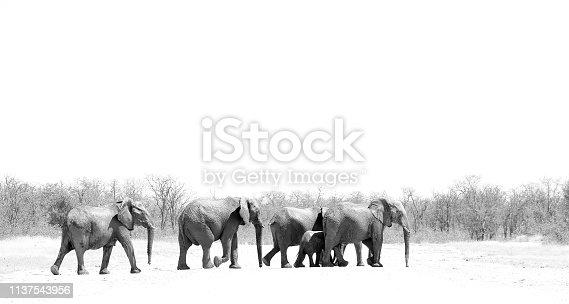 Animals elephants wildlife Africa family nature walking bush land savanna trees