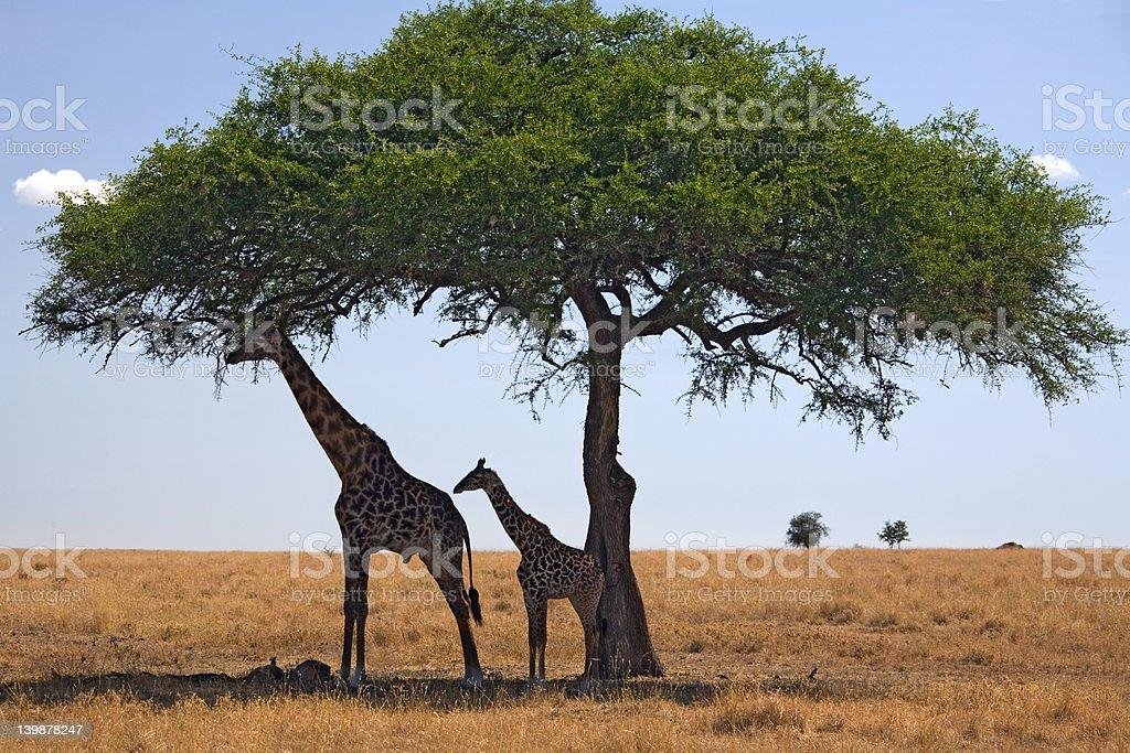 animals giraffe royalty-free stock photo