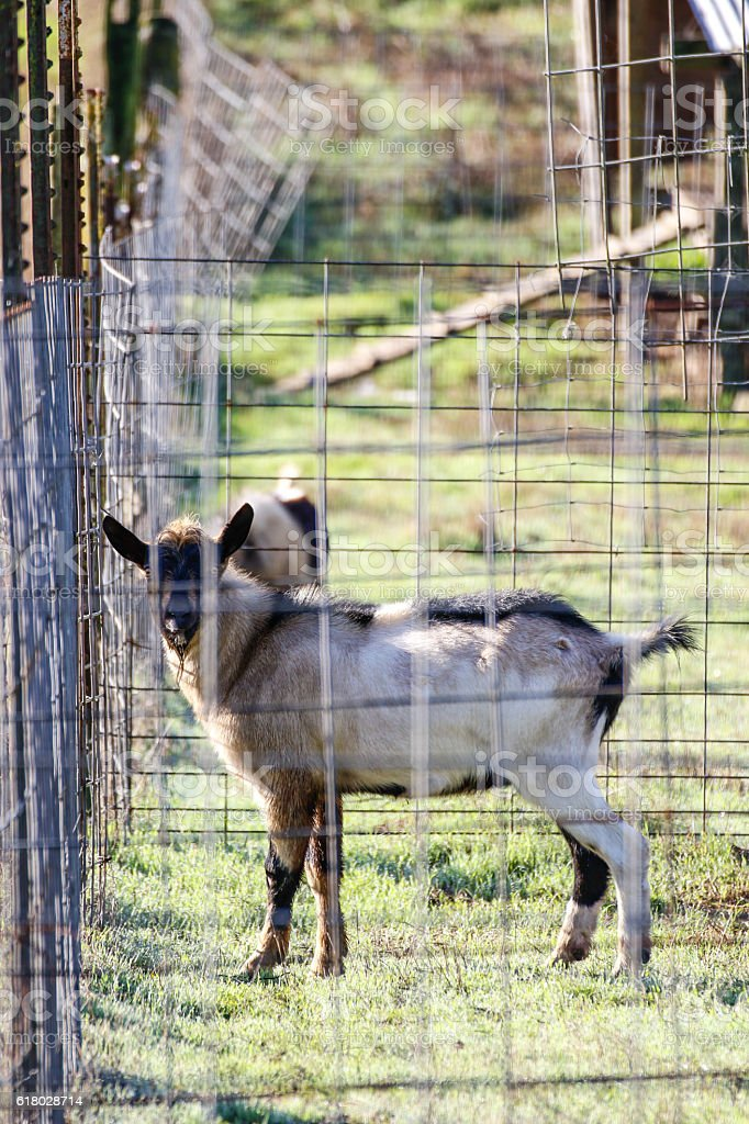 Goats playing outside in a pen