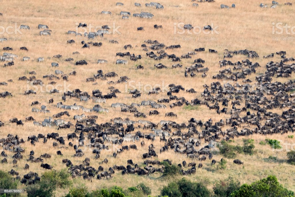 Landscape Arial view herds of Zebra and wildebeest migration in Masai...