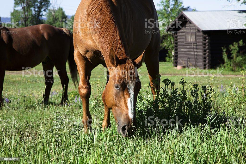 Herd of Horse grazing on grass in pasture. Rural, log cabin.
