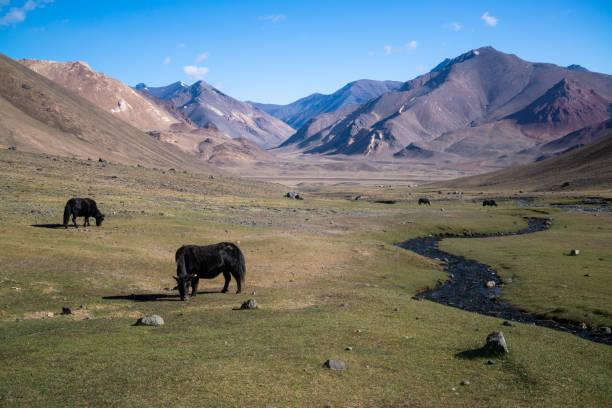 Animals in mountains next to Pamir highway in Tajikistan stock photo