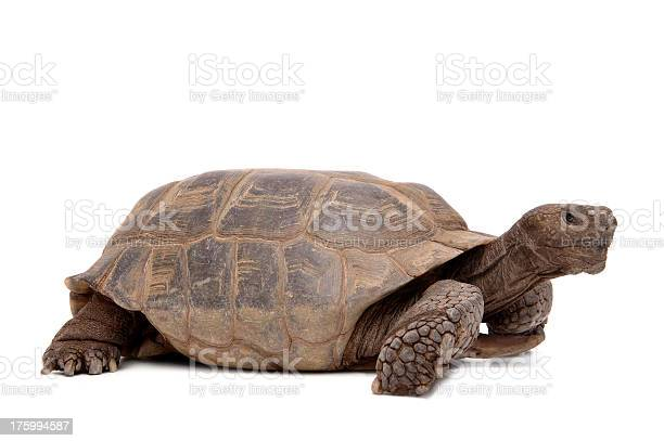Animals isolated desert tortoise picture id175994587?b=1&k=6&m=175994587&s=612x612&h=emoaeoiquqtj0rwgda akyyjdnj7byawmwkck2pl he=