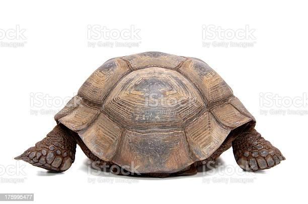 Animals isolated desert tortoise picture id175995477?b=1&k=6&m=175995477&s=612x612&h=sddxx6rpgy5shvxyzliu2nnjzkv3h mbccscswwhfga=