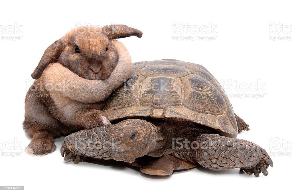 Fotografía de Animales Tortuga Del Desierto Conejo Aislado y más ...