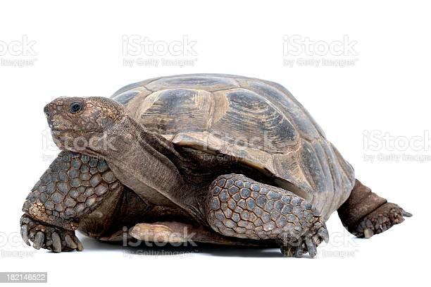 Animals isolated desert tortoises picture id182146522?b=1&k=6&m=182146522&s=612x612&h=hwjuxuranzg4iahdonlz7nqnxtxs8j2ptgca0z6dmny=