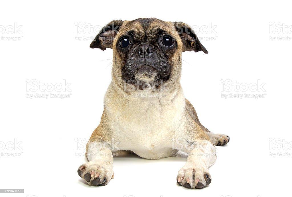 Animals : Isolated Dog Pug royalty-free stock photo
