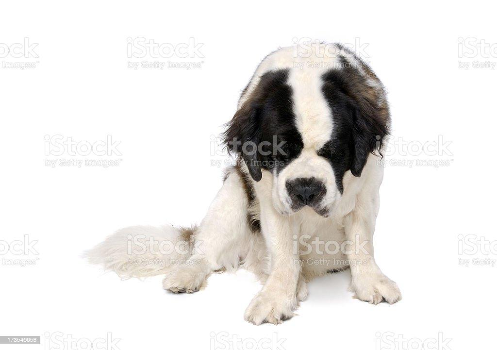 Animals : Isolated Dog St. Bernard royalty-free stock photo