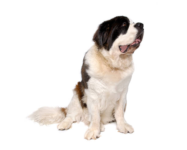 tiere: isolierte hund st. bernard - bernhardiner stock-fotos und bilder